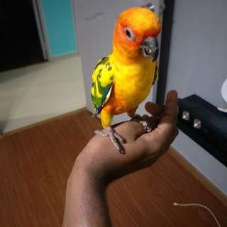 Sun conure with cage