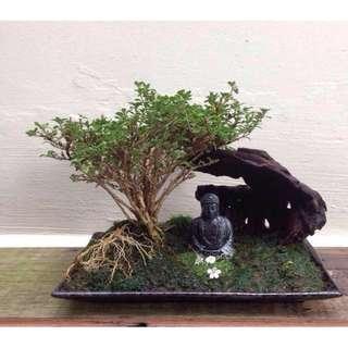 Zen  Bonsai  -  Nirvana Series  1003