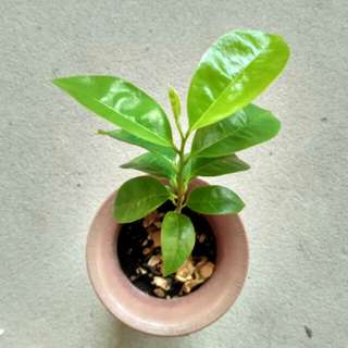 Young soursop plant