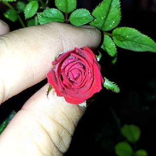 GARDENING - Red Rose Seeds For Sale
