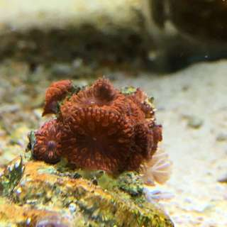 """Reef Aquarium Blastomussa Wellsi 1"""" Size True Mini Colony"""