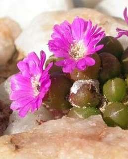 Oophytum Nanum Seeds