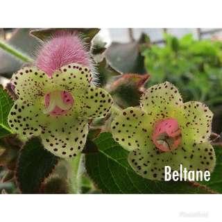 """Kohleria """"Beltane"""" plant"""