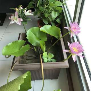 Water lily plant with flowers