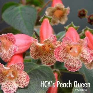 Kohleria HCY's Peach Queen (Sold out)