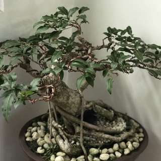 Balete Bonsai