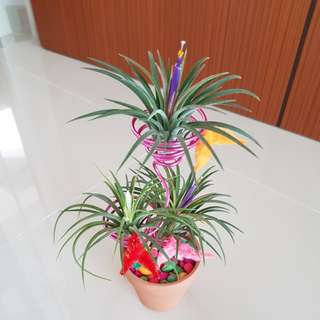Air Plant blooming for sale!