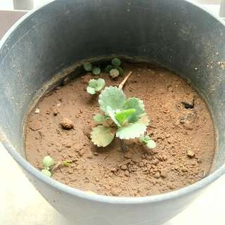 bryophyllum plant mini