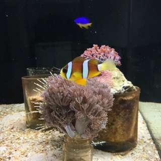 """2-3"""" Reef Aquarium Coral Clownfish Clarke Marine Fish Tank"""