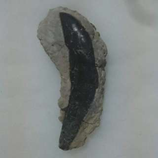 Allosaurus rooted tooth