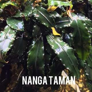 Bucephalandra Nanga Taman