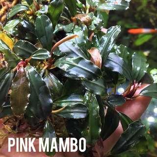 Bucephalandra Pink Mambo