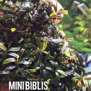 Bucephalandra Mini Biblis