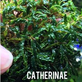 Bucephalandra Catherinae
