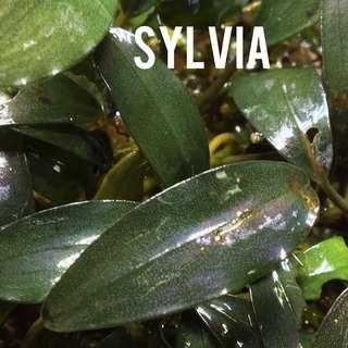 Bucephalandra Sylvia
