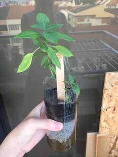 Thai basil self watering plant