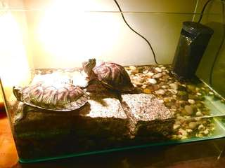 Terrapins for adoption