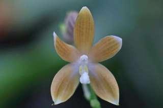 Phalaenopsis speciosa coffee (Phalaenopsis species)