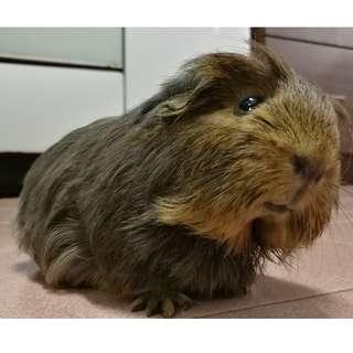 Guinea Pig (Coronet)