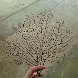 Large natural dried sea fan - for aquarium, terrarium, craftwork, etc - MANY STOCKS