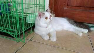 Kucing Persia dan kandang