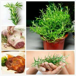 200 Rosemary Seeds DIY Garden Plant Easy To Grow Herb, vegetable seeds healthy, edible catnip  balcony herb seeds garden bonsai for planting