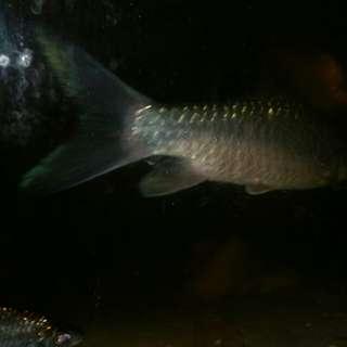 Ikan Kelar Silver