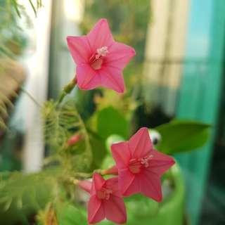 Pink cypress vine seeds