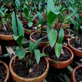 Anggrek Dendrobium Burana Racha-Thaiangel