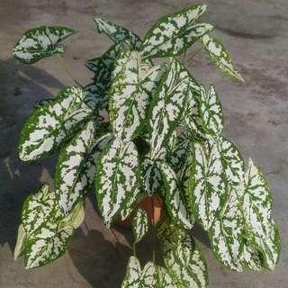 Small Pot Deco Plant (Caladium Humboldtii )