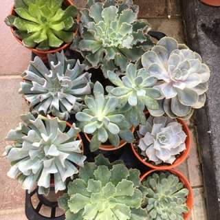 Various Succulents