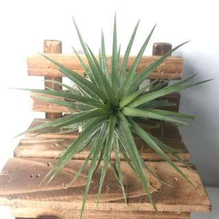 [READY STOCK!] Airplant | Tillandsia Druid