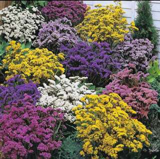 Statice Limonium Sinuatum Mix Color Seeds