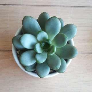 Succulents:Ametorum