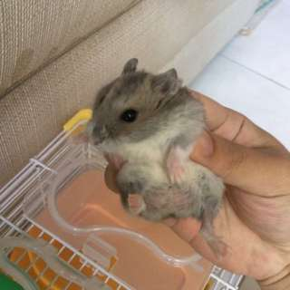 Hamster Winter White (Male)