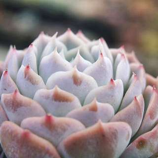 😍RARE SUCCULENTS: T024 - Pachyveria Jocelyn Joys (FIRST COME FIRST SERVE! VERY LIMITED STOCKS!)😱