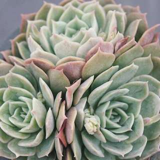 😍RARE SUCCULENTS: T019 - Echeveria Onslow Cluster (FIRST COME FIRST SERVE! VERY LIMITED STOCKS!)😱
