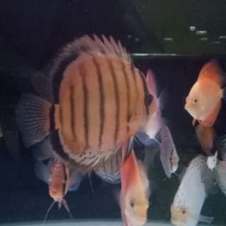 2 Wild discus each for $250