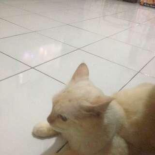 Jual kucing mix persia himalaya