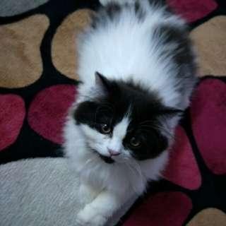 Anak Kucing Parsi (3bulan)