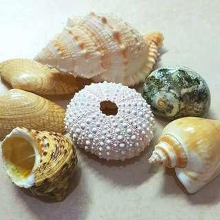Seashells Sea Shells Combo 4 (Sea Urchin)