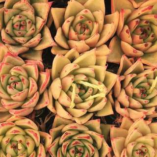 😍RARE SUCCULENTS: V016 - Echeveria Agavoides Maria (FIRST COME FIRST SERVE! VERY LIMITED STOCKS!)😱