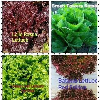 Lettuce seeds variety