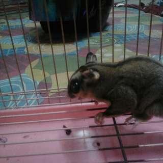 Sugar glider rare and cage