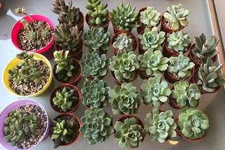 Potted Succulents (Various species)
