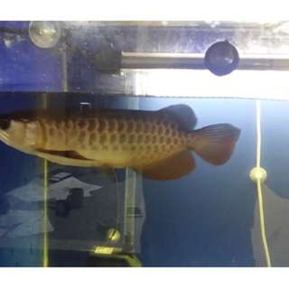 Arowana 4x2x2 fish tank with iron rod stand with accessories for sale