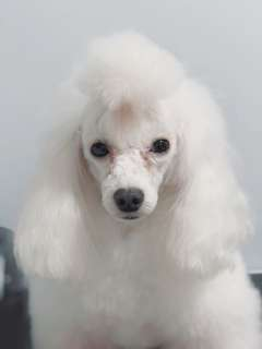 POODLE 10% OFF!!! Pet Dog Grooming & Skin Therapy