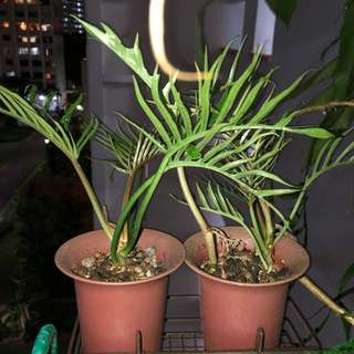 Philodendron 'Tortum'
