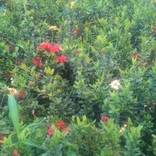 Pohon soka kembang kuning merah