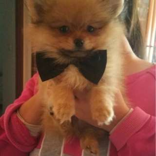 Black color bow tie for pets cat dog